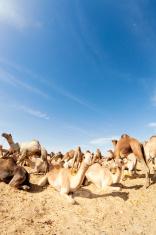 Camel Market