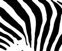 Zebra Detail-High Contrast