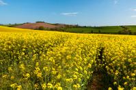Oilseed rape with fields beyond, in Devon