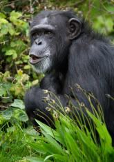 chimpanzee mascot stock photos freeimagescom