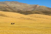 Tibetan Wild Asses