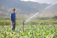 farmer watering tobacco field