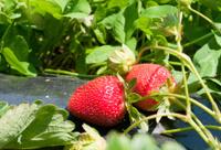 Strawberries still on the bush