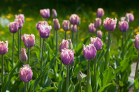 Cummins (Tulipa gesneriana)