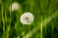 Perfect Dandelion