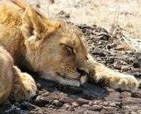 Sleeping cub
