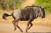 Blue Wildebeest Running - South Africa