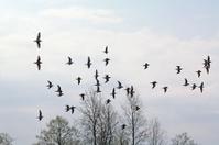 flock sandpiper on spring marsh