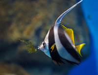 Stripped angelfish