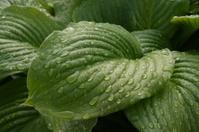 Green sheet to the drops of rain