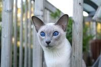 Miss Chloe - Blue eyes