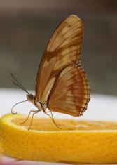 Butterfly on Orange Slice