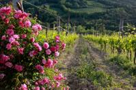 Vitigno toscano del Chianti con rose