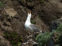 Herring Gull Calling