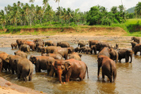 Herd of asian elephants. Pinnawela. Sri Lanka.