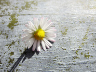 daisy with shallow DOF