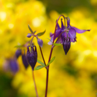 Aquilegia vulgaris 'Columbine', Cornwall, UK