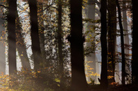 Rays of sunlight entering a forest during autumn