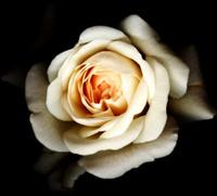White Rose - Black Background