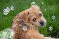 Terrier Puppy Watching Bubbles