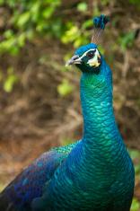 Bright Peacock in Dubai