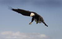 Bald Eagle - Coming in for a Landing, Alaska