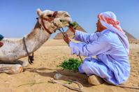 Bedouin feeding his camel
