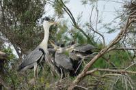 Grey Heron on the nest
