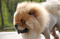 Tibetan Dog in park
