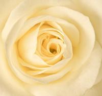 single cream rose
