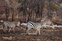 Zebra crossing burnt vegetation