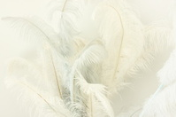 Ostrich Feather Plumes Struthio camelus