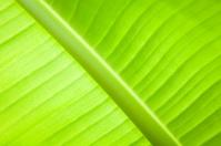 Green close up of banana leaf