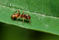Jumping Spider of Myrmarachne