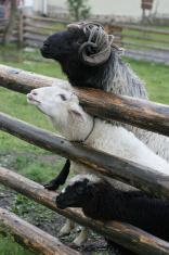 Sheeps and Ram