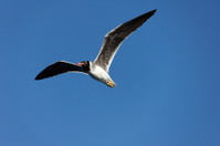 Flying Seagull, Red Sea White-eyed Gull