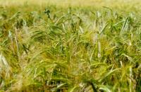 Barley In Windy Field
