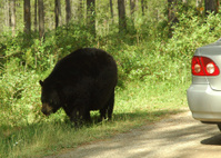 black bear encounter of series
