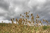 Thistles under grey sky