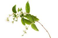 White Flowers Of Philadelphus or Mock-Orange  Shrub