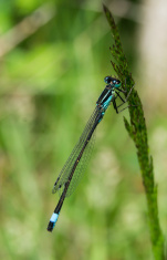 Black and blue Dragonfly