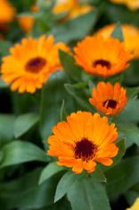 Orange calendula officinalis