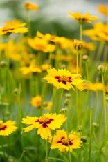 Lance-Leaved Tickseed flowers