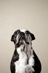 Boston terrier looking up