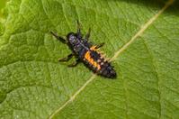 ladybird larve