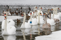 Swans  and ducks on winter river