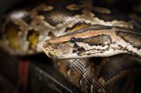 Python Snake Head Close-up