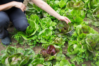 Middleaged woman on her organic vegetable garden,checking growth