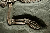Ancient Crocodile Fossil
