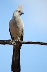 Gray Go-away-bird , South Africa
